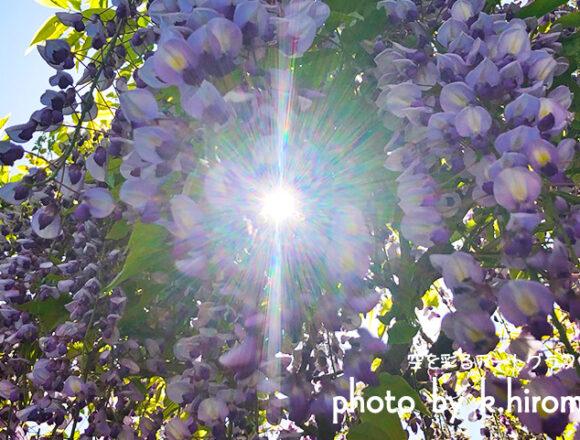 太陽の光と藤の花のコラボ 空を彩るアートグラフィ